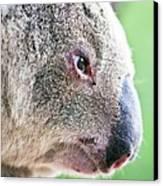 Koala Profile Portrait Canvas Print by Johan Larson