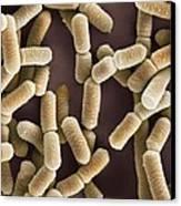 Lactobacillus Bacteria, Sem Canvas Print by Dr Kari Lounatmaa