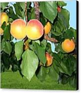Lake Country Apricots Canvas Print by Will Borden