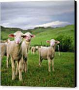 Lambs In Wyoming Canvas Print by Danielle D. Hughson