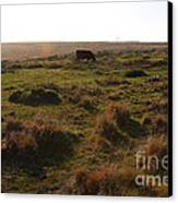 Landscape With Cow Grazing In The Field . 7d9935 Canvas Print by Wingsdomain Art and Photography