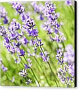 Lavender In Sunshine Canvas Print by Elena Elisseeva
