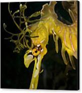 Leafy Sea Dragon Canvas Print by Matthew Oldfield