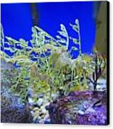Leafy Seadragon Phycodurus Eques At The Canvas Print by Stuart Westmorland