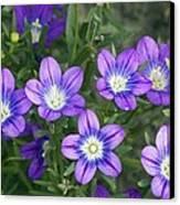 Legousia Pentagonia Flowers Canvas Print by Bob Gibbons