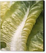 Lettuce Leaf Canvas Print by Sheila Terry