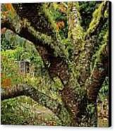 Lichen Covered Apple Tree, Walled Canvas Print by The Irish Image Collection