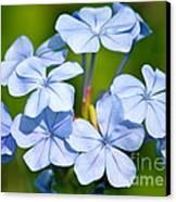Light Blue Plumbago Flowers Canvas Print by Carol Groenen