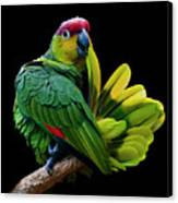 Lilacine Amazon Parrot Isolated On Black Backgro Canvas Print