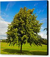 Lime Tree In Summer Canvas Print