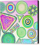 Lm Of Fossilized Diatoms Canvas Print by M. I. Walker