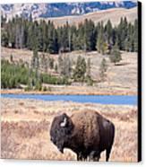 Lone Buffalo Canvas Print by Cindy Singleton
