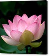 Lotus Beauty--blushing Dl003 Canvas Print