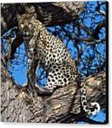 Lounging Leopard Namibia Canvas Print by David Kleinsasser