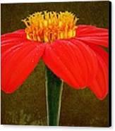 Magenta Zinnia Flower Canvas Print by David Dehner