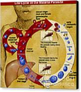 Malaria Parasite Life Cycle Canvas Print by Science Source