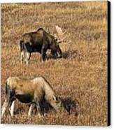Male And Female Moose Alces Alces In Canvas Print