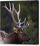 Male Elk Cervus Canadensis Canvas Print