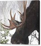 Male Moose Grazing In Winter, Gaspesie Canvas Print