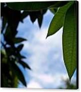 Mango Tree Leaf Canvas Print