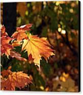 Maple Leaf Glow Canvas Print by James Hammen