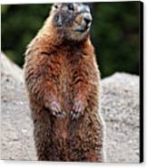 Marmot Rearing Up On Hind Legs In Yellowstone Canvas Print
