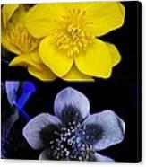 Marsh Marigold In Uv Light Canvas Print by Cordelia Molloy