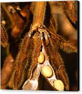 Mature Soybeans Canvas Print by Science Source