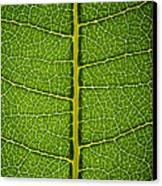 Milkweed Leaf Canvas Print by Steve Gadomski
