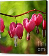 Month Of May Bleeding Hearts Canvas Print
