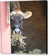 Moo Now Canvas Print by Kathy Gibbons