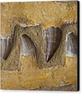 Mosasauras Teeth Canvas Print by Garry Gay