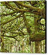 Moss-covered Trees Canvas Print