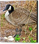 Mother Goose At Nest Canvas Print by Susan Leggett