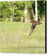 Mottled Duck Flying Canvas Print