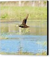 Mottled Duck In Flight Canvas Print by Lynda Dawson-Youngclaus