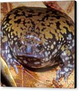 Mullers Termite Frog Canvas Print by Dante Fenolio
