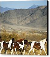 Mustangs Canvas Print by Mark Newman and Photo Researchers