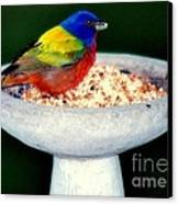 My Painted Bunting Canvas Print by Karen Wiles
