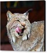 North American Lynx Canvas Print