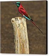 Northern Carmine Bee-eater Canvas Print by Tony Beck