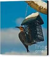 Northern Flicker Canvas Print by Harry Strharsky