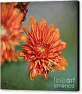 October Mums Canvas Print by Darren Fisher