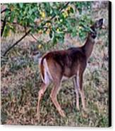 Oh Deer Me Canvas Print by Myrna Migala