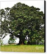 Old Fig Tree - Ficus Carica Canvas Print by Kaye Menner