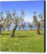 olive grove on Lake Gardan Canvas Print