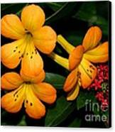 Orange Rhododendron Flowers Canvas Print