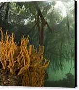 Orange Sponges Grow Canvas Print by Tim Laman