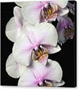 Orchids Canvas Print by David Chapman