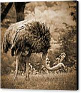 Ostrich Canvas Print by Arne Hansen